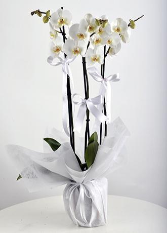 Alanya Çiçek 3 Dal Orkide