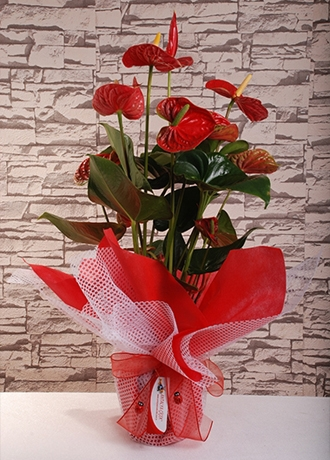 order flowers alanya Middle Antorium
