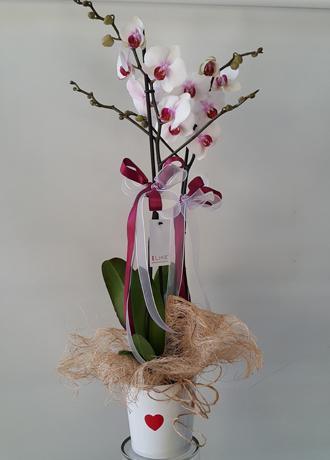 Alanya Çiçek Orkide Çitf Dal