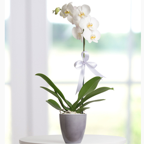 makaron ve güller Tekli Beyaz Orkide
