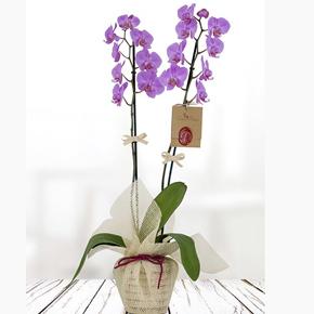 seramikte 4 dal orkide Çiftli Mor Phalanopsis