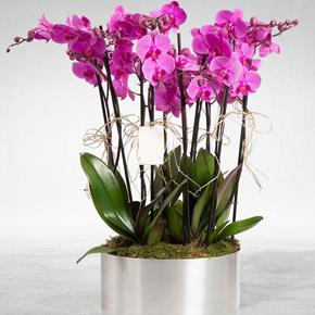 Çiftli mor phalanopsis 6 Dal Mor Orkide